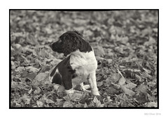 The Little One (Seven_Wishes) Tags: newcastleupontyne elswickpark autumn autumnal leaves dof depthoffield pet dog spaniel springerspaniel englishspringerspaniel puppy animal blackandwhite mono monochrome toned tinted canoneos1dmarkiv canonef100400mmf4556lisii jo outdoor photoborder watchful soulful