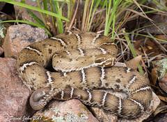 Arizona Ridge-nosed Rattlesnake (Crotalus willardi willardi) (David A Jahn) Tags: arizona ridgenosed rattlesnake crotalus willardi crote rattler viper venomous montane snake reptile