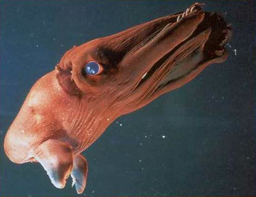 vampire squid from HELL. Not an octopus not a squid.
