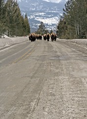 Roaming Roadblock (code poet) Tags: road park trees landscape 50mm buffalo national yellowstone bison roadblock