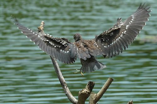 the prankster in-flight... juvenile blackcrowned night heron from bali dd