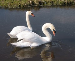swans / zwanen in ice ( Annieta  Off / On) Tags: white holland bird ice nature water netherlands beautiful dutch birds tag3 taggedout canon ilovenature interestingness swan perfect tag2 tag1 ditch outdoor scout powershot explore swans g2 polder paysbas allrightsreserved 1on1 powershotg2 canonpowershotg2 i500 annieta theworldthroughmyeyes explore12mar06 thebiggestgroup kakadoo multicoloredobject bochoven vanbochoven usingthisphotowithoutpermissionisillegal