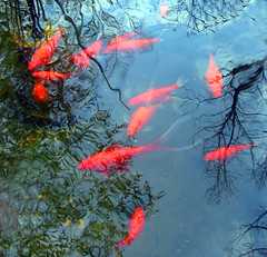 Foto by Fishdaddy (pauly...) Tags: fish tag3 taggedout reflections pond tag2 tag1 goldfish watergarden amiko