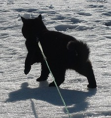 tinna..the sledgecat? (arny johanns) Tags: winter shadow pet cats pets white snow black cold cute beautiful cat canon walking persian kitten pretty shadows kitty leash mycat kisa mypet kttur tinna strolling ixus50 exoticshorthair