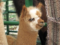 Isn't This Little Alpaca Adorable? (Pixel Packing Mama) Tags: top20animalpix niceshot adorable precious awww sillygoose mayberryrfdruralplacesrurallives nuggets allanimals animalbabies babyanimals petsinprofile femalephotographers familyfurrythingsorboth pixelpackingmama eieio dorothydelinaporter canonpowershota510a520 worldsfavorite anythingallowed favoritedpixset mostinterestingaccordingtoflickralgorithmset uploadedfirsthalfof2006set update4sure update4sureset pixelpackingmama~prayforkyronhorman favdate oversixmillionaggregateviews over430000photostreamviews