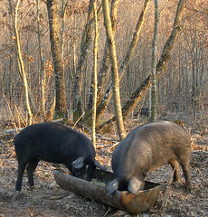 Look carefully in the background and you'll see a wild boar (hardworkinghippy) Tags: black animals pig farm country pudding ham meat pork pigs sausages organic agriculture cochon sustainable permaculture drying jambon porc biologique smallholding selfsufficiency bourrou keepingpigs