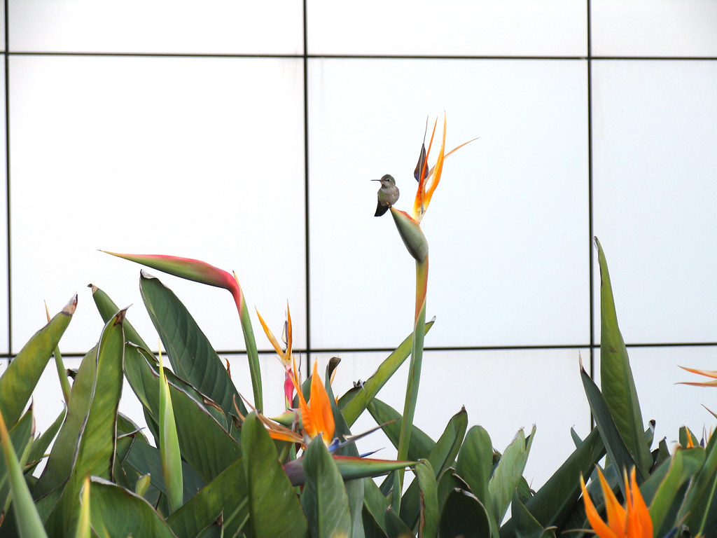 Hummingbird guarding Bird of Paradise blossoms at the Getty