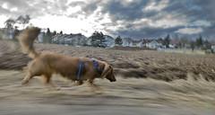 Running home ... (iPhotograph) Tags: dog pet blur animal d70 running dachshund motionblur dri 18mm sigma1020mmf456exdchsm