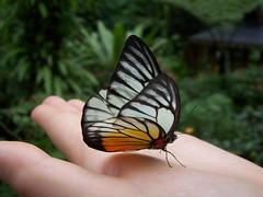 Butterfly (zbjernak) Tags: butterfly coolest kualalumpurbutterflypark opengroup