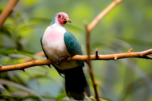 Jambu Fruit Dove (Ptilinopus jambu)