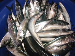 Caballas, mackerels (Toni Pamuk) Tags: sea food fish seaside healthy northafrica fresh morocco maroc afrika marruecos essaouira marokko afrique mogador fishingport afriquedunord tonipamuk challengeyouwinner friendlychallenge