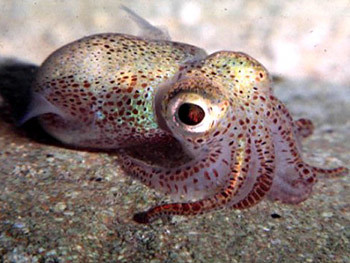 baby_squid