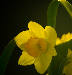 Down (doozzle) Tags: flowers light black flower macro yellow closeup spring candle daffodil candlelit jonquille