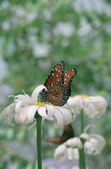 curly daisy kisses butterfly, the oregon zoo (cafemama) Tags: flowers nature bestof butterflies archives fromthearchives sarahgilbert