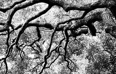 Twisted Old Tree (Thomas Hawk) Tags: california blackandwhite bw usa tree america blackwhite oak unitedstates unitedstatesofamerica eastbay oaktree piedmont natureshand