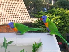 The couple (Dave Keeshan) Tags: bondi geotagged rainbow sydney australia lorikeets geolat3388668 geolon15128180