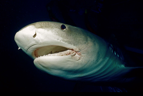 Tiger Shark Close Up in the Bahamas