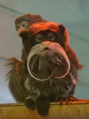 Emperor Tamarin & Child (tim ellis) Tags: animal zoo monkey whiskers primate tamarin twycrosszoo emperortamarin saguinusimperator msh1108 hc120712 hc1207 bigpicture2008 msh11083