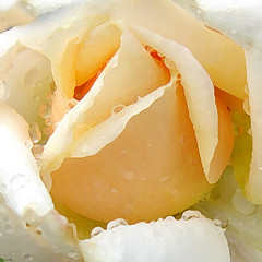 painted rose with raindrops (EssjayNZ) Tags: flowers newzealand flower macro rose closeup tag3 taggedout photoshop tag2 tag1 painted cream 2006 raindrops waterdrops essjaynz taken2006 sarahmacmillan