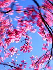 flower tree toss 063 (briancweed) Tags: pink sky plant abstract flower tree topf25 fun movement spin surreal kinetic spinning toss photographicart cameratoss intentionalcameramovement icmgroupicon