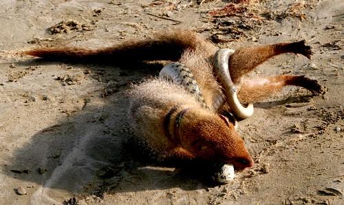 mongoose vs. snake