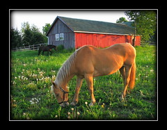 Bartle's Red Barn Horses (La Mano de Cuervo) Tags: red summer horses horse animal barn farm dandelions