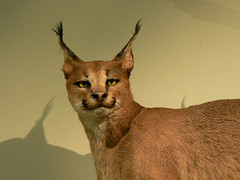 Lynx at the Las Vegas Natural History Museum