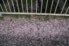 cherry blossom leftovers 2 (agiawb) Tags: cherry blossom leftovers gifu