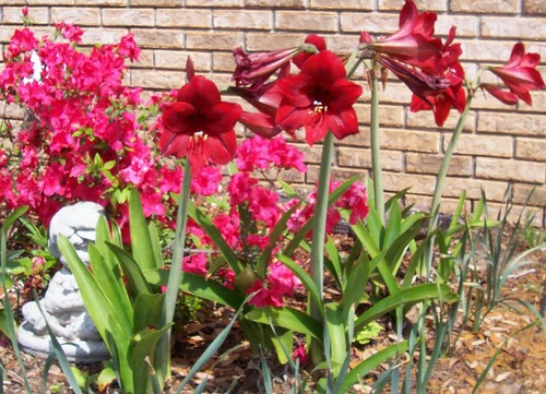 The Few, The Proud, The Red Amaryllis