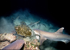 Frenzy (ScottS101) Tags: night danger ilovenature shark costarica nw wildlife hunting scuba diving adventure jaws sharks hunt allrightsreserved frenzy cocosisland predation animalencounters ilovetheocean triaenodonobesus whitetipreefsharks copyrightscottsansenbach2008