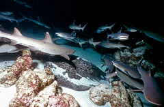 Swarming the Reef (ScottS101) Tags: school danger ilovenature shark costarica nw wildlife hunting scuba diving adventure pack sharks predator swarm allrightsreserved predators cocosisland predation animalencounters ilovetheocean triaenodonobesus whitetipreefsharks copyrightscottsansenbach2008
