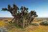 Joshua Trees (Pay No Mind) Tags: california trees tree d50 landscape countryside spring desert joshuatree tokina 124 wildflowers antelopevalley atx 1224mmf4 methlabcountry