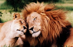Lions in love! (fanz) Tags: africa wild cats cute love smile smiling animals southafrica happy nikon couple sweet african unique lion adorable happiness safari cuddle lions romantic wilderness rare tender touching fg20 fanz nikonstunninggallery specanimal animalkingdomelite flickrplatinum bestofanimals francoisdehalleux