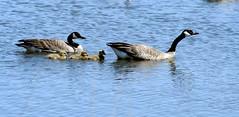 This way to food... (jodi_tripp) Tags: geese tag1 wa gosling allrightsreserved refuge ridgefield saywa lovephotography joditripp wwwjoditrippcom photographybyjodtripp joditrippcom