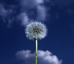 ...experiment... (ManonManon) Tags: blue light sky beautiful wow idea hit soft great experiment croatia womenonly dandelion lovely fabulous fragile magnificent slavonia 1on1 top20flowershots incredibile 50fav 1on1flower 1on1macros artlibre