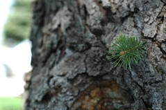 a new beginning (silverboh) Tags: pinetree spring beginning bud newlife photodotocontest1
