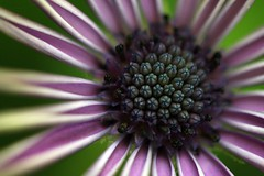 (code poet) Tags: blue flower macro green purple magenta 100v10f 100mm africandaisy osteospermum ccmpclosencounter