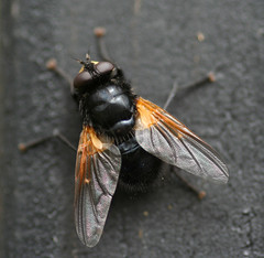 "Noonday Fly - Mesembrina meridiana • <a style=""font-size:0.8em;"" href=""http://www.flickr.com/photos/57024565@N00/136838635/"" target=""_blank"">View on Flickr</a>"