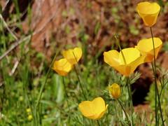 20060429 Poppies