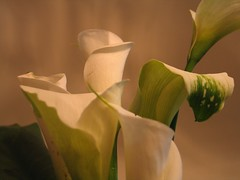 Calla lily 008 (grazewind) Tags: callalily family3 20060429