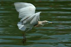 the unforgettable... / a inesquecível... ♫ javan pond heron  *ardeola speciosa* from bali ♫♫ (bocavermelha-l.b.) Tags: heron tc20eii 80200mmf28d 77mmcircularpolarizingfilter inbali garçota javanpondheron ardeolaspeciosa foundinnusadua south–china–sea inindonesia tôôt likeaballerina feitobailarina shootingwithd70s wingsinflight asasemvôo wildlifebali