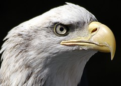 Eye on You (Extra Medium) Tags: england interestingness nikon baldeagle 9 d100 slideshow captive haliaeetusleucocephalus warwickcastle honorablemention venturacountyfair nikkor80400vr haliaeetusluecocephalus