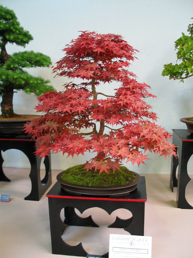 Japanese Maple (Acer palmatum). Informal upright style.