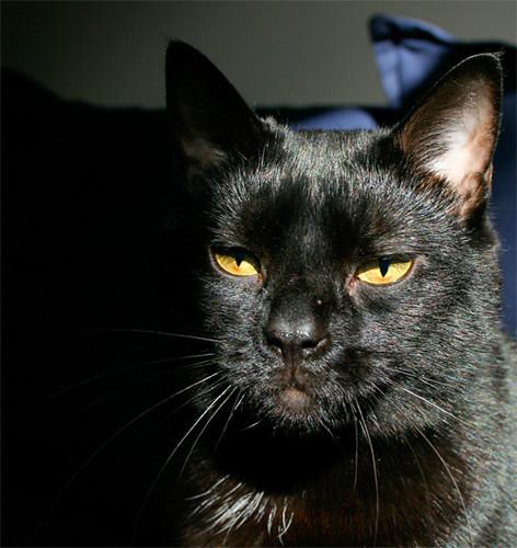 gambar kucing hitam comel image2