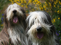 Laughing Beardies (Debbie G) Tags: portrait dog canada spring bc 2006 victoria top20dogpix beardie beardedcollie robinson cedarhill top20halloffame bigmomma cholmondeley 1on1petshalloffame 1on1petsjunehalloffame photofaceoffwinner photofaceoffplatinum pfogold phlow:emote=lol