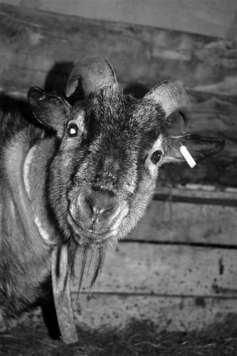 Freddy, my Eddy surrogate -- herminelipke hermine minajame lipke sheep surrogate freddy eddy