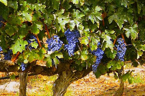 Livermore Vineyard