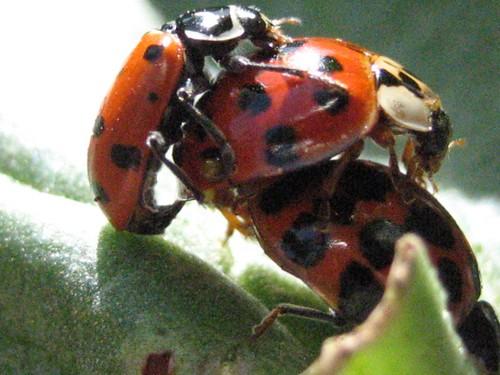 Ladybird Sex 20
