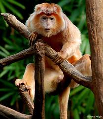 monkey porn (Kacy Knight) Tags: nyc newyorkcity ny newyork nature animal wow naked penis zoo monkey photo image picture porno porn bronxzoo k2 knight gotham kacy kacyknight d80 k2nyca nikonstunninggallery nikond80 k2ny