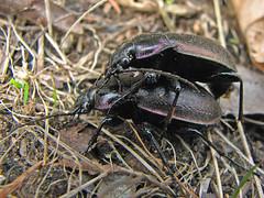 beetles 2 (Marko_K) Tags: tag3 taggedout tag2 tag1 beetle insects top20macro beetles 1on1naturehalloffame 1on1naturejulyhalloffame